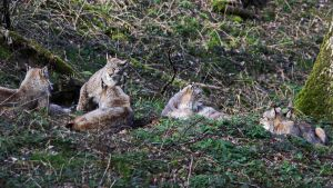 Party of lynx by UdoChristmann