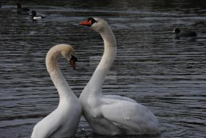 Swans in Love 3 by alanhay