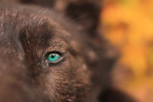 Sneak Peek: Black Wolf Headdress with Custom Eyes by NaturePunk