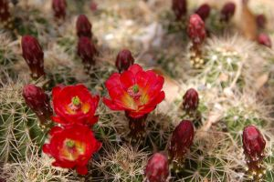 Cactus Blossom II by esee