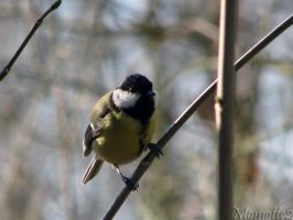 Happy great tit by Momotte2