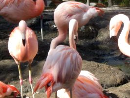 Flamingos 7 by my-dog-corky