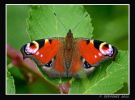 peacock butterfly by bracketting94