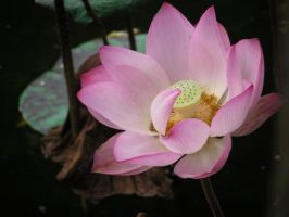 Lotus Flower 01 by China-stock