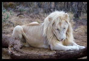 White Lion 2 by C-Puff