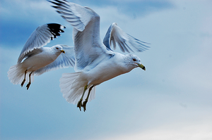 Seagulls in Flight by xMBPhotox