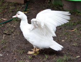 White Duck Stock 1 by CNStock