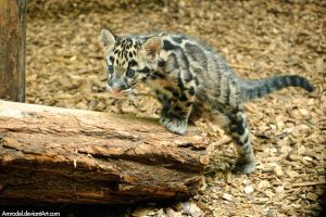 Little Clouded Leopard by amrodel