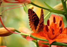 Lillies and Butterfly by Foxytocin