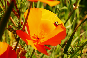 California Poppy by Suzums707
