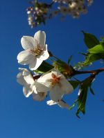 Spring Blossoms I by Photopathica