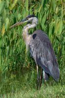 The Great Blue Heron-Strike a Pose by BettyBoopRox