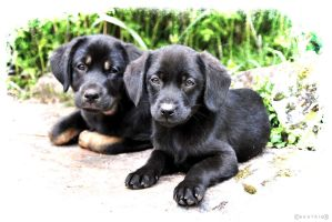 Puppies by VicDeS-P