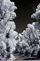 Victorian IR 1 Mount William Trees by Okavanga