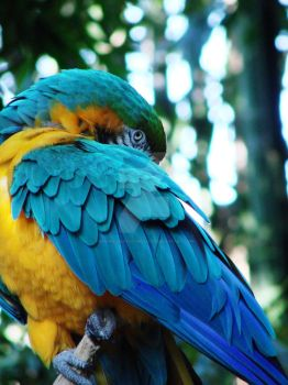 Blue and Gold Macaw I by scarredbutnotbroken