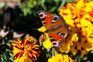 peacock butterfly by kleinerEngl