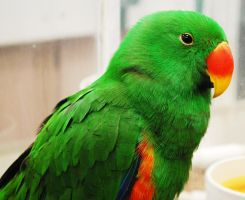 Male Eclectus Parrot by Starlight-Airwaves