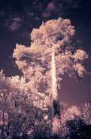 pine infrared by Wunderling