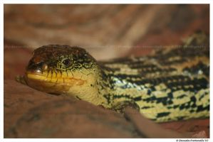 Lizard by TVD-Photography