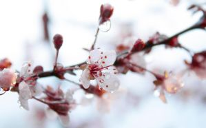 Sand Cherry Blossom by TheColourofAir25