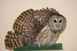 Barred Owl Threat by TornFeathers