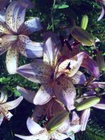 white speckled lily by amyhatesyouaswell