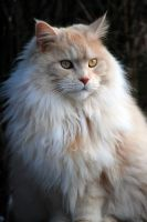 maine coon by waitingforthestorm