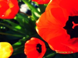 Tulips by JustAnn
