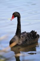 Black Swan by Smithschips