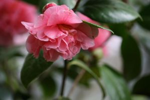 view to camellias 2 by ingeline-art