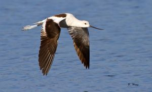American Avocet by Grouper