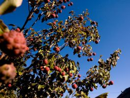 Berries and Sky by Delia-Stock