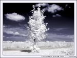 The Lonely Albino Tree by Panter