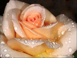Raindrops On  A Rose. by Firey-Sunset