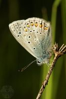 Plushy Common Blue by webcruiser