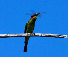 Bee Eater Eating not a Bee by GrumpySnapper