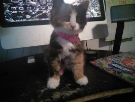 My niece's pet kitten, Stitches. by Flutterflyraptor