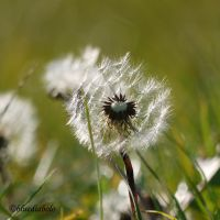 Taraxacum officinalis by bluediabolo