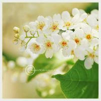 cherry blossom by Serend1pity