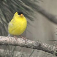 Little Yellow Grosbeak by Brian-B-Photography