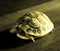 Small turtle by Zebebe