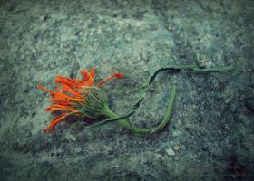 for a dying flower 2 by LuciaBlueFlower