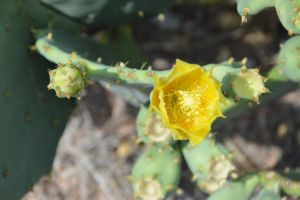 Bottoms and flower of Opuntia Ficus-India by A1Z2E3R