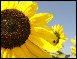 Sunflower say hello by NessaRaul