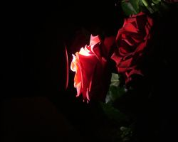 """Bunch of """"glowing"""" roses by Brina"""