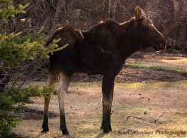 Moose by KSPhotographic