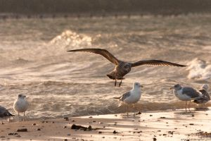 Gulls by antarialus