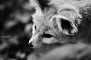 Fennec Fox by LindaMarieAnson