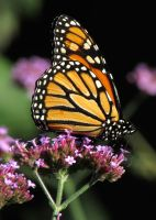 Monarch #10 by JED1948
