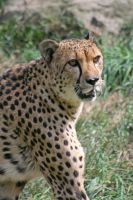 Cheetah_02 by JoKeR0720